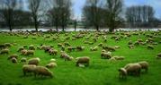 Овцы мясных пород живым весом с откорма.
